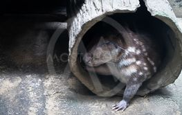 cuniculus spotted Paca
