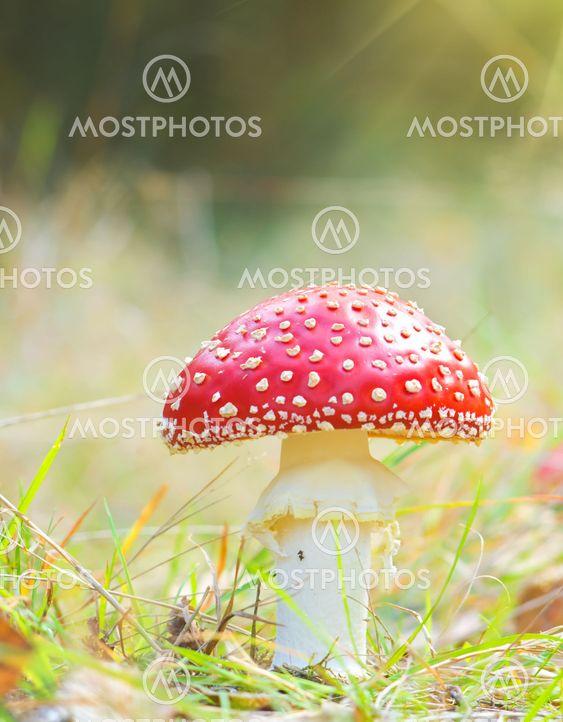 rød svamp