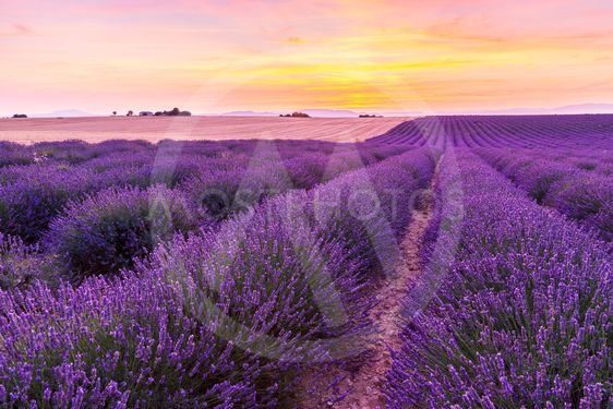 Beautiful landscape of lavender fields at sunset in...