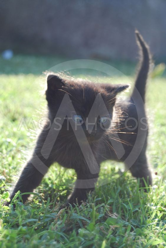 lille sorte kat