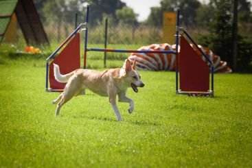Dog is running in agility.