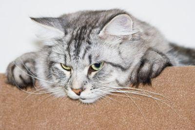 Grey Siberian cat male