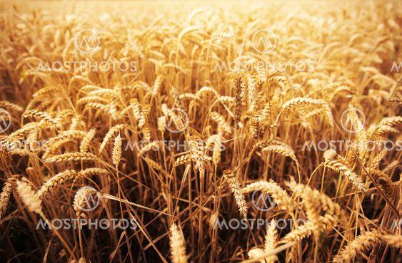field of ripening wheat ears or rye spikes
