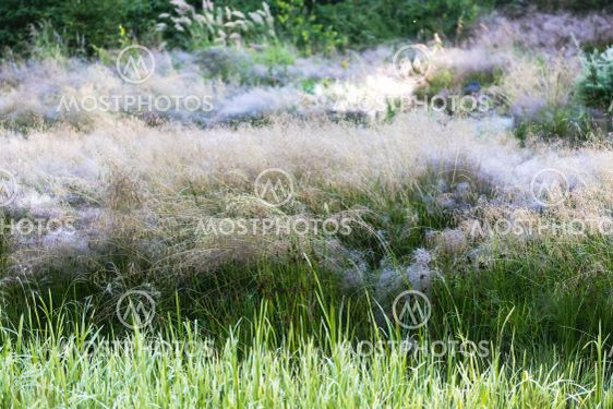 tidig sommarmorgon i juli med daggtyngda gräs i full blom