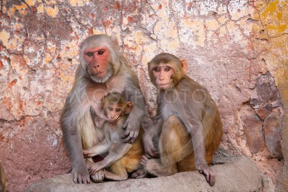 Family of Rhesus macaques sitting in Jaipur, Rajasthan,...