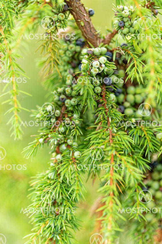 närbild av enbuske med gren full av gröna och blå enbär