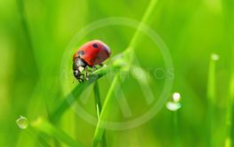 Beautiful color image of ladybugs in grass. Insect close...
