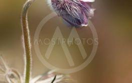 Wild flower, Pulsatilla pratensis