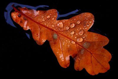 Oak drops