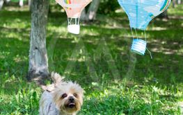 The dog of small breed (Yorkshire terrier) plays in the...