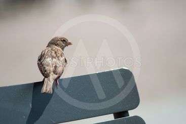 sparrow standing on wooden chair in...