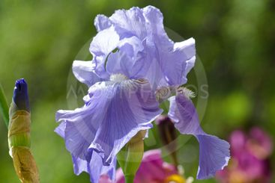 Ljusblå Iris