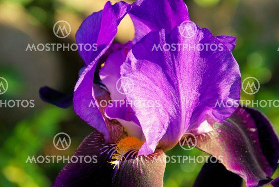 Schwertlilie - iris 53
