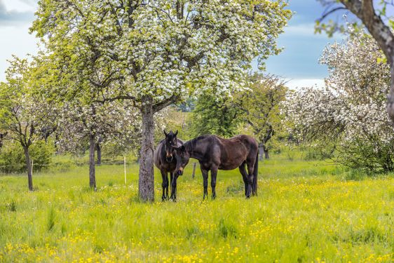 Two horse on a meadow