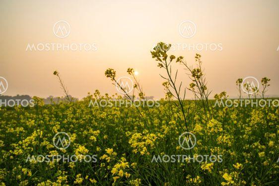 Yellow mustard flower Field under the open sky