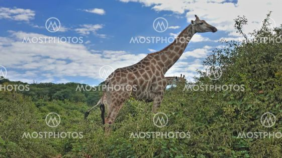 Big beautiful giraffe with a long neck