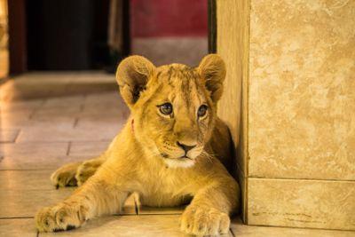Lion king junior