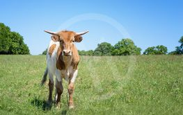 Texas longhorn on spring pasture