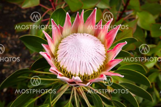 A king protea plant (Cynaroides) in bloom.