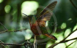 Kolibri från Equador