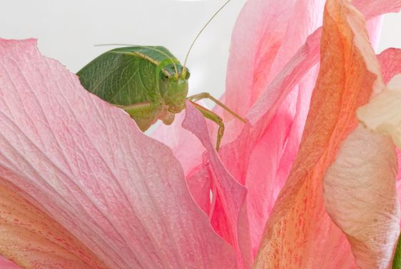 Vihreä Grasshopper...