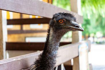head of EMU ostrich peeks through planks fence