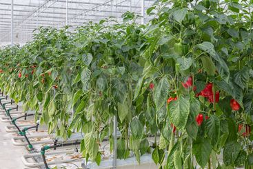 Cultivation of red paprika in Dutch greenhouse