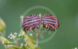 Två insekter