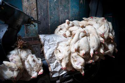 Chicken Transport in Jakarta
