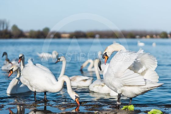 Swans on the shores of Danube in Belgrade, Serbia