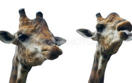 giraffe sticking out tongue and licking lips on white...