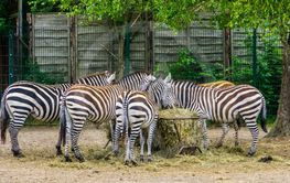 big group of grant's zebras eating hay from the crib,...