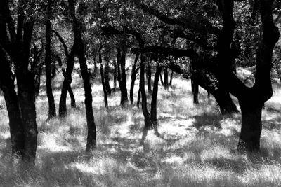 multiple oak trees