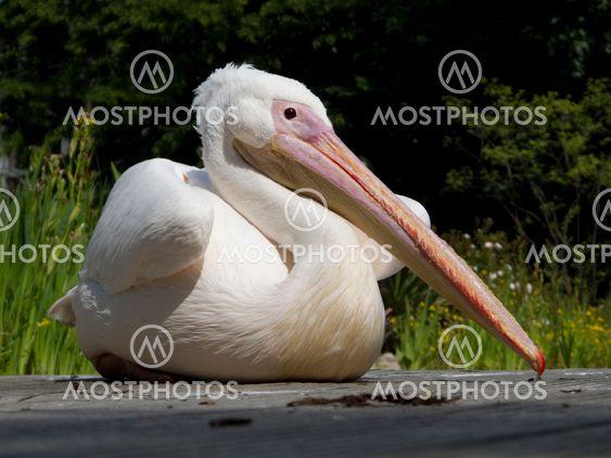 Pelican fågel
