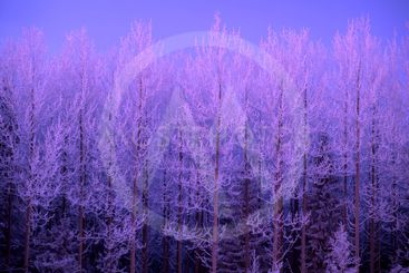 Frost trees in sunset
