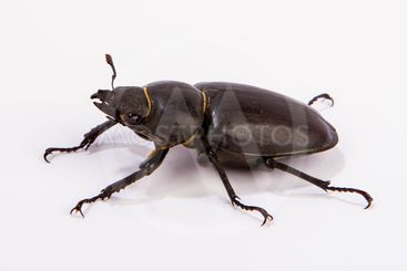 Female Stag Beetle isolated on white