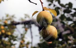 Green Brown Yellow Apples on the Tree in Autumn