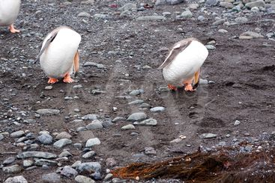 funny walking penguins