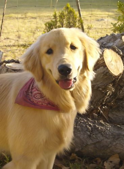 beautiful golden dog