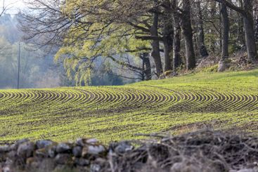 Newly sown crop in a field in spring.