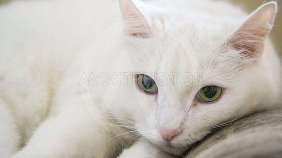 White Cat With Green Eyes By Chermen Otaraev Mostphotos