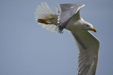seagull flying over my head