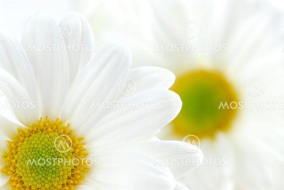 Hvid daisies