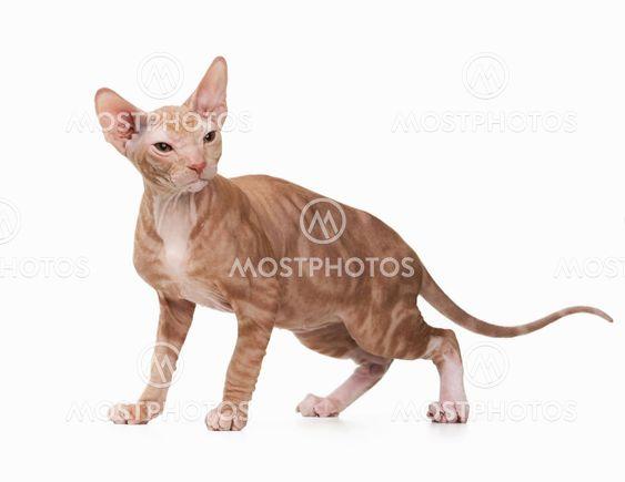 Don sphynx kitten on white