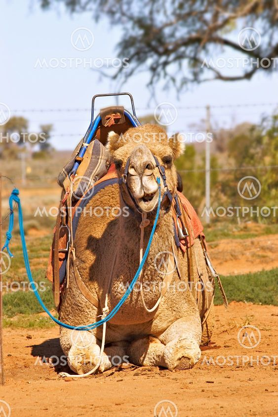 camel sitting with saddle