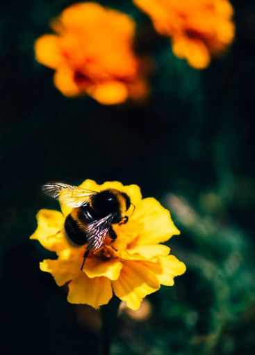 Big bumblebee pollinates a flower in a sunny day