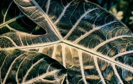 Textured surface of Alocasia amazonica green leaf...