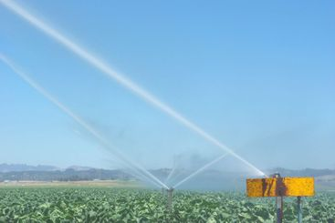 Watering Cabbage Crops