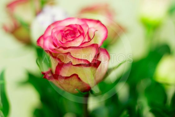 Pink and white blooming roses gifrt with love