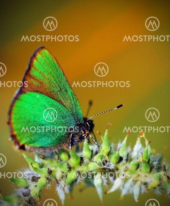 Lille sommerfugl - Callophrys rubi - Grøn busksommerfugl